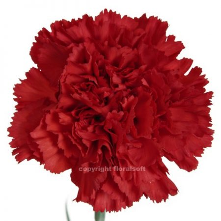 Carnation Don Pedro