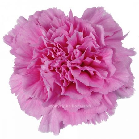 Carnation Constellation