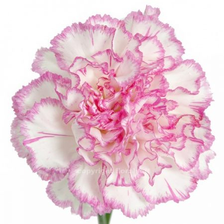 Carnation Comaci