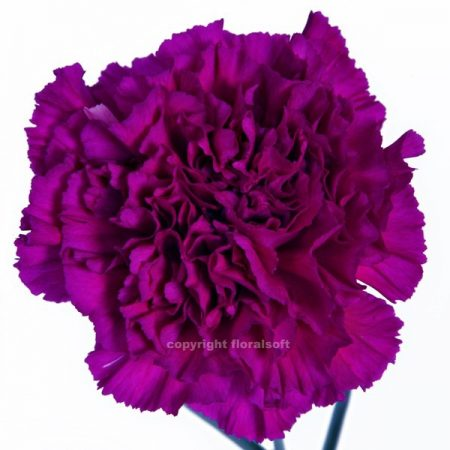 Carnation Golem