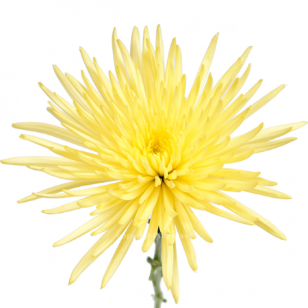 Mum Anastasia Yellow Sunny