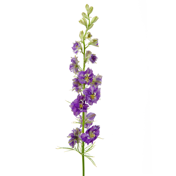 larkspur purple stems ship cut flowers