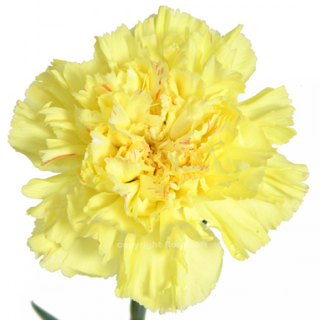 Carnation Hermes