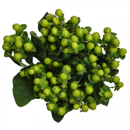 Hypericum Green