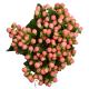 Hypericum Pink