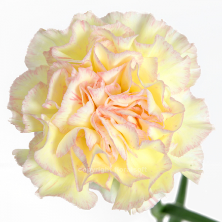 Carnation Light Yellow