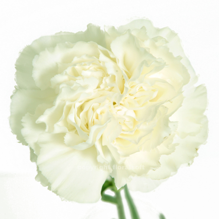 Carnation Komachi Blanco