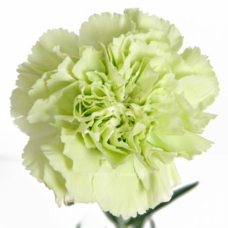 Carnation Prado Mint