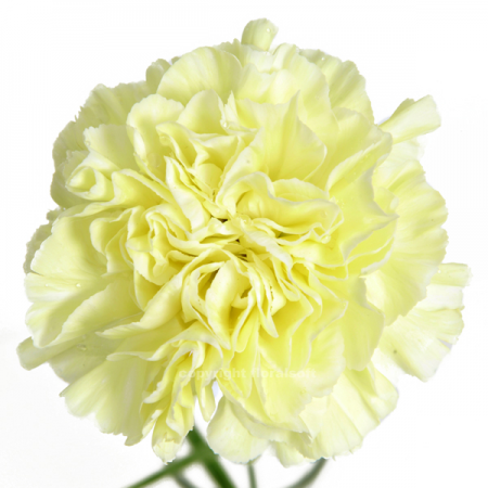 Carnation polinmia