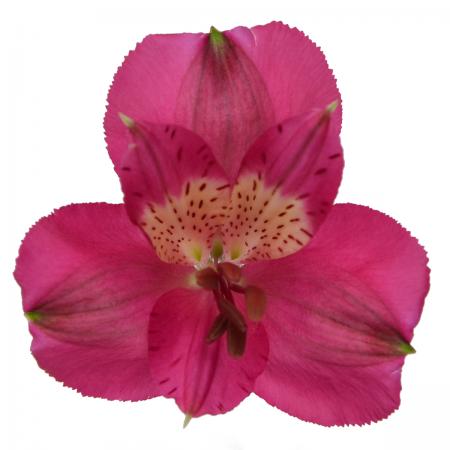 Alstroemeria Navarro
