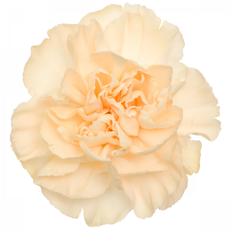 Carnation peach melba