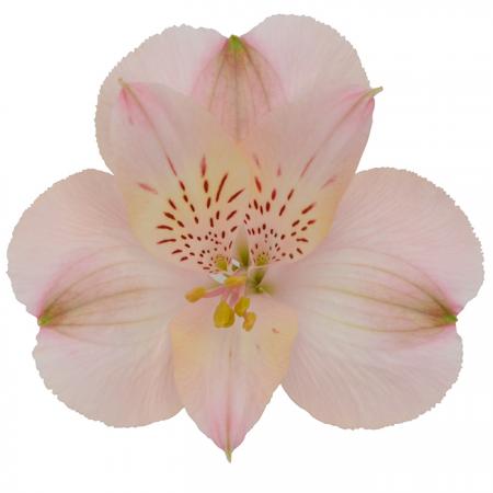 Alstroemeria Fifi