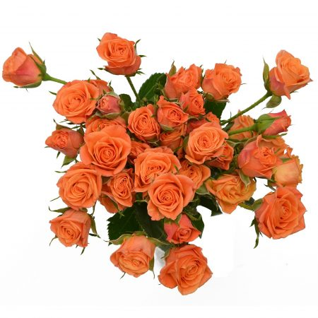 Spray Rose Mambo