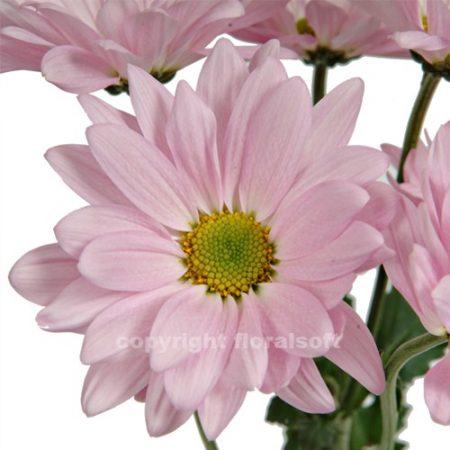 Daisy Lavender