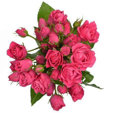 Spray Rose hot pink follies bel