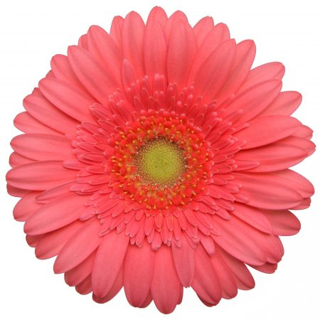 Gerbera Mini Catch me