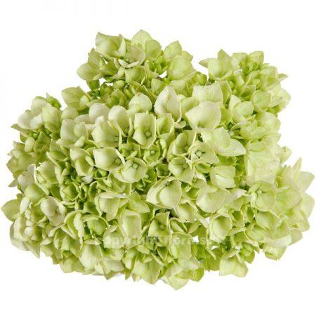 Hydrangea Natural Green