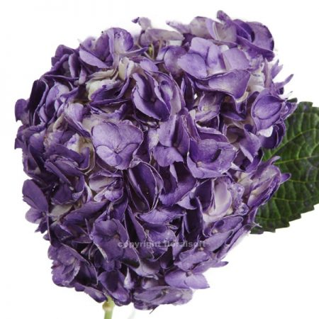 Hydrangea Natural Purple