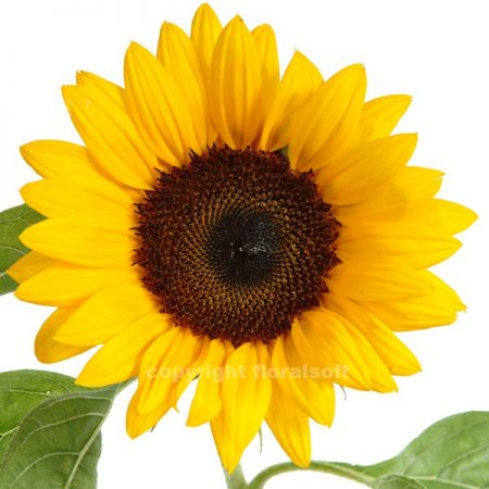 Sunflower Medium Dark Center