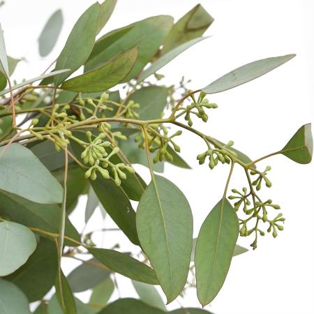 eucalyptus seeded