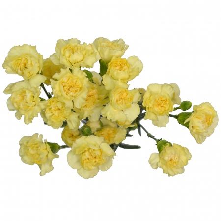 carnation mini light yellow