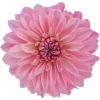 dahlia bargalay blush