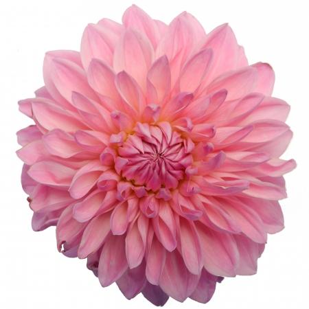 dahlia bargalay blush
