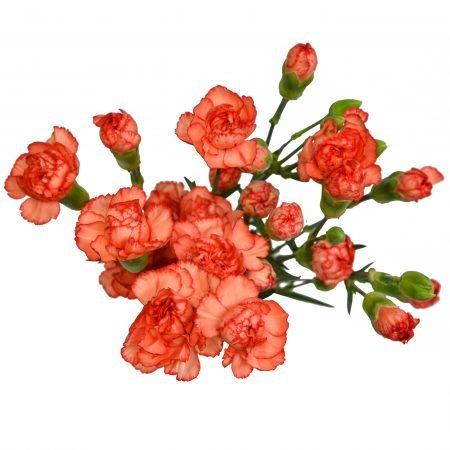 mini carnation orange