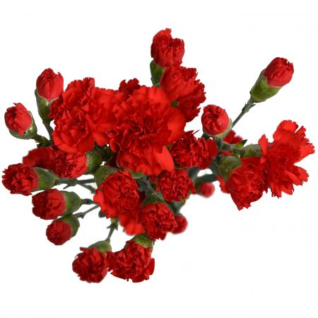 mini carnation red