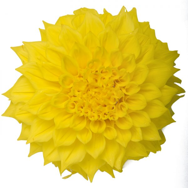 dahlia penhill yellow queen