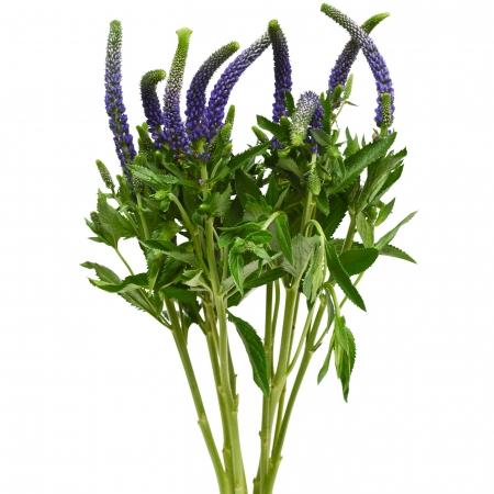 veronica purple