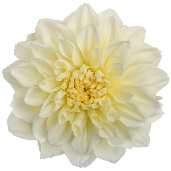 Dahlia white alva