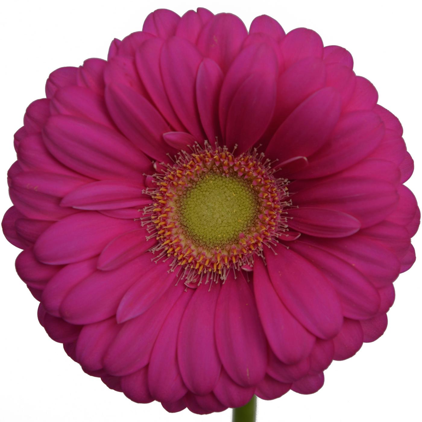 Gerbera Daisy Hot Pink Light Center Stems Ship Cut Flowers