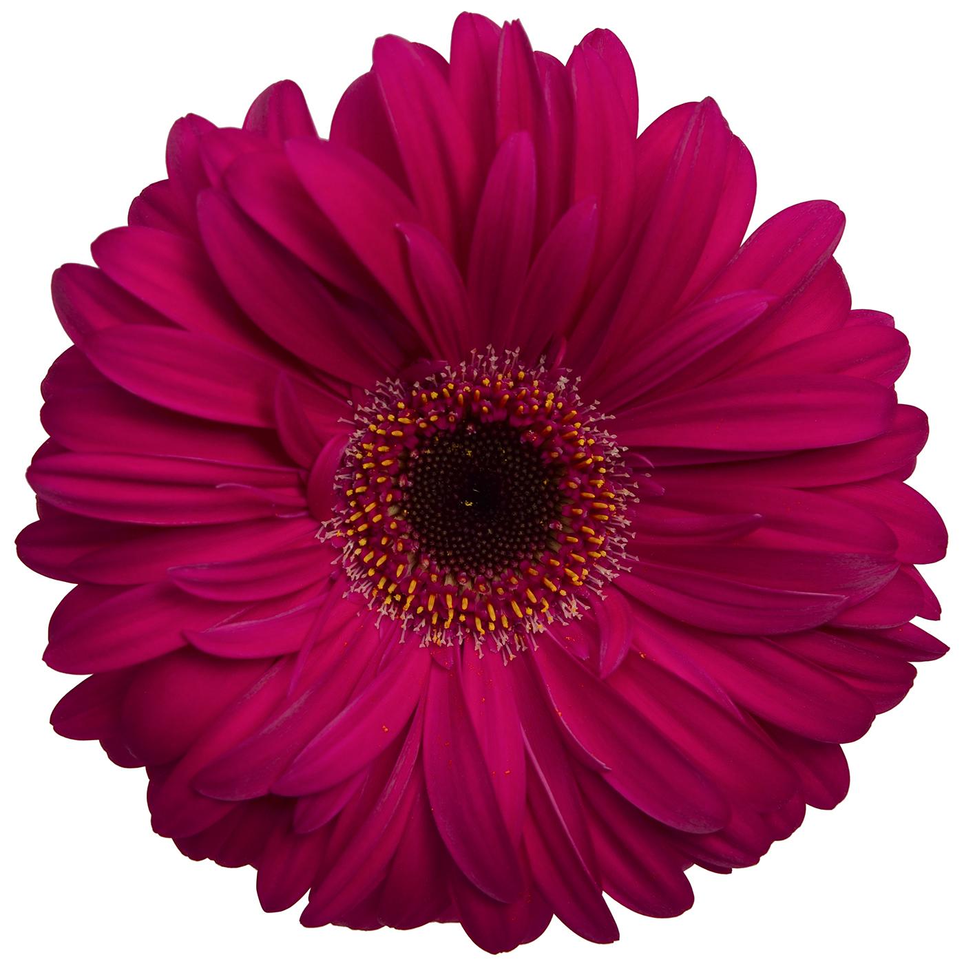 Gerbera Daisy Hot Pink Dark Center