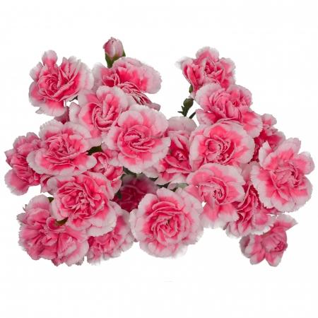 mini carnation bicolor pink