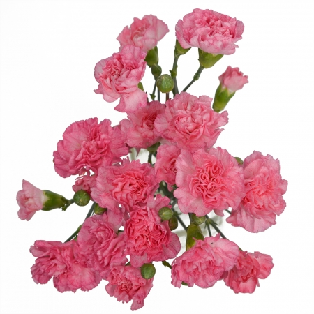 mini carnation pink