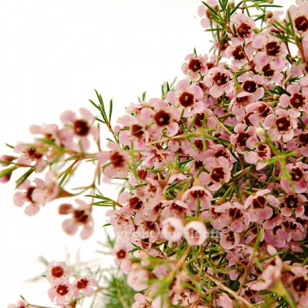 waxflower light pink california