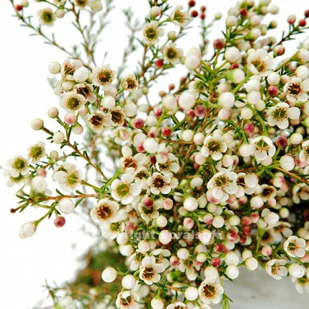 waxflower white california