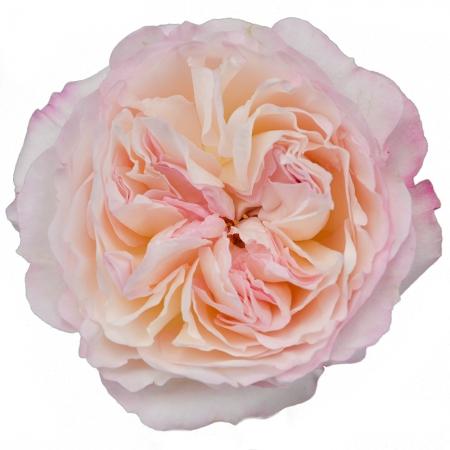 garden rose keira