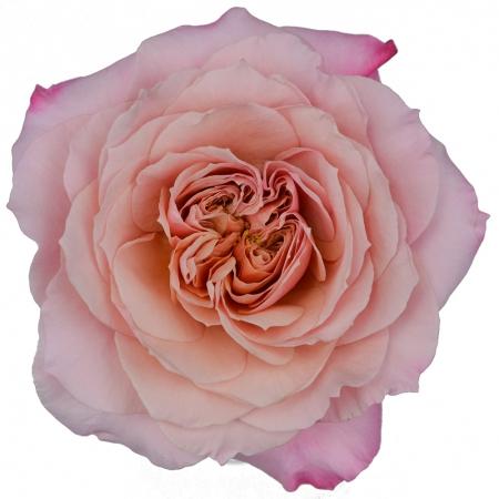 garden rose miyabi