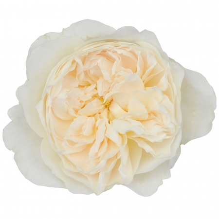 garden rose purity