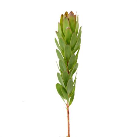 leucadendron Green