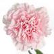 carnation Damina
