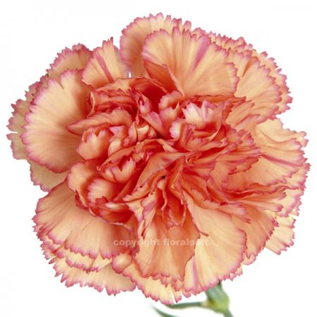 Carnation Indiana