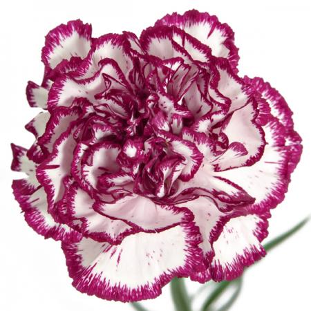 Carnation Olimpia