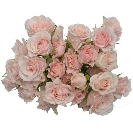 Spray Rose Pink Mojolika