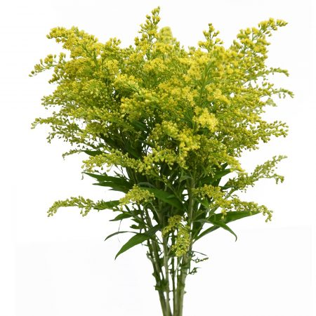 solidago filler