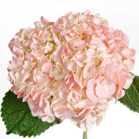 Hydrangea tinted light pink