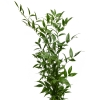 greens italian ruscus
