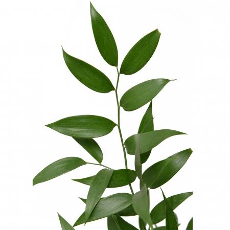 greens itialian ruscus